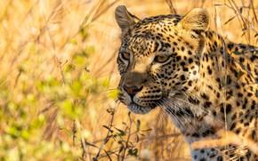 Картинка трава, взгляд, морда, свет, портрет, леопард