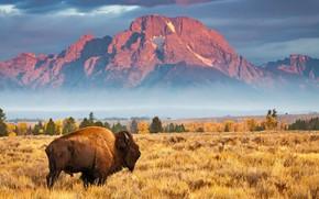 Картинка Вайоминг, США, Grand Teton National Park, бизон