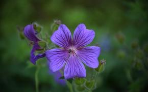 Картинка Цветочки, Flowers, Фиолетовые цветы, Purple flowers