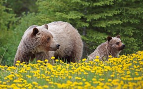 Картинка цветы, медведи, медвежонок, детёныш, одуванчики, гризли, медведица