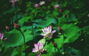 Картинка зелень, листья, цветы, размытие, лотосы, боке