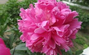 Картинка Цветок, Розовый, Пион, Mamala ©, Лето 2018