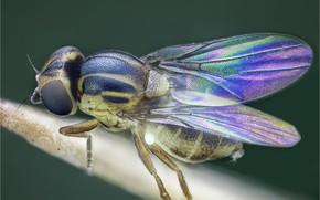 Картинка макро, муха, фон, крылья