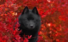 Картинка осень, ветки, природа, животное, листва, куст, собака, пёс, Шипперке, Anna Oris