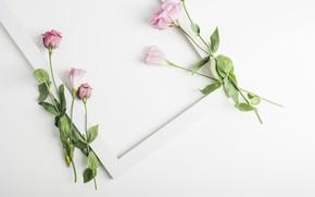 Картинка цветы, flowers, фон, белый, рамка, декор, Pink, эустома