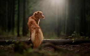 Обои лес, лучи, собака, бревно, Новошотландский ретривер