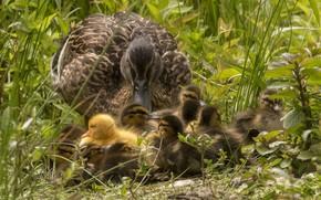Картинка трава, птицы, малыши, утка, выводок
