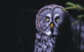 Картинка взгляд, темный фон, сова, птица, портрет, черный фон, неясыть