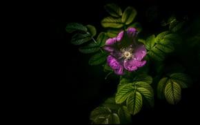 Картинка цветок, листья, сиреневый, шиповник, черный фон