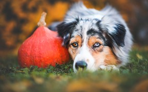 Картинка грусть, осень, трава, взгляд, морда, природа, портрет, собака, урожай, лежит, тыква, австралийская овчарка, разноглазая, аусси, ...
