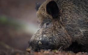 Картинка морда, кабан, дикая свинья