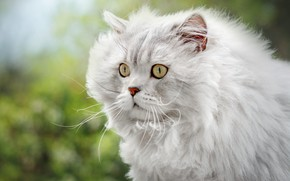 Картинка кошка, белый, кот, усы, взгляд, морда, портрет, пушистый, грива, боке, персидский