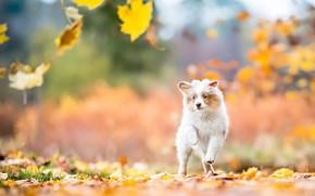 Картинка осень, взгляд, листья, природа, собака, малыш, бег, щенок, прогулка, листопад, австралийская овчарка, аусси