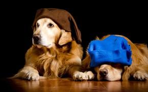 Картинка собаки, синий, две, портрет, собака, пара, гномы, образ, шапки, черный фон, двое, парочка, коричневый, золотистый, ...