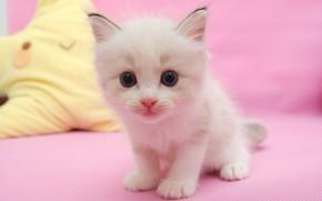 Картинка кошка, белый, взгляд, котенок, игрушка, портрет, малыш, мордочка, котёнок, сидит, розовый фон