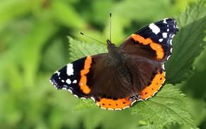 Картинка макро, зеленый, фон, узор, бабочка, растение, насекомое, крылышки, коричневая, боке, крапивница, крапива