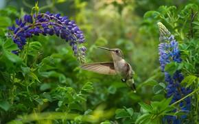 Картинка цветы, птица, колибри, птичка, люпины