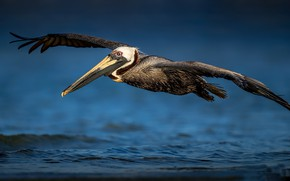 Картинка природа, птица, пеликан
