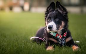 Картинка трава, собака, щенок, поводок, модашка