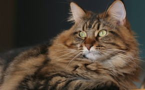 Картинка кошка, взгляд, портрет, мордочка, Мейн-кун