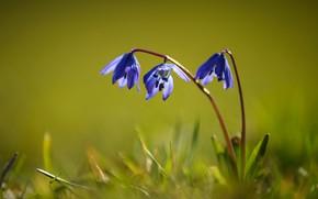 Картинка трава, цветы, фиолетовые, зеленый фон, сиреневые, стебелёк, пролеска