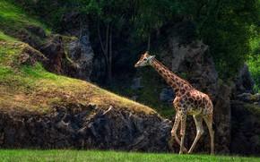 Картинка зелень, деревья, природа, темный фон, камни, скалы, жираф, прогулка