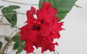 Картинка Красный, Цветок, Гибискус, Meduzanol ©, Лето 2018