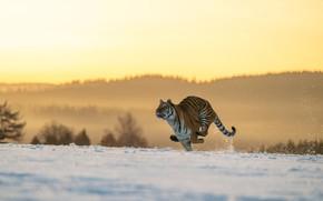 Картинка зима, поле, лес, кошка, свет, снег, природа, тигр, поза, прыжок, холмы, бег, дикая, несется