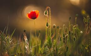 Картинка цветок, свет, мак, маки, бутоны