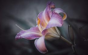 Картинка цветок, лето, темный фон, розовый, нежность, лилия, красота