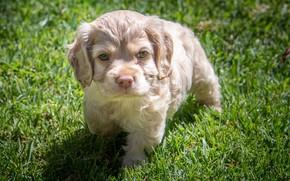 Картинка трава, щенок, спаниель