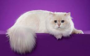 Картинка кошка, белый, кот, взгляд, поза, фон, сиреневый, мордочка, лежит, фотостудия