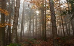 Картинка осень, лес, свет, деревья, ветки, природа, туман, стволы, листва, утро, сосны, бор, сосновый