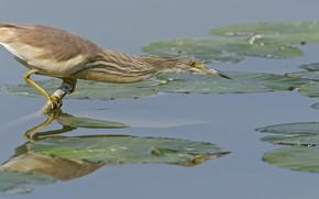 Картинка вода, природа, птица, охота, выпь, DUELL ©