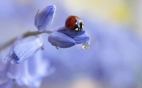 Картинка цветок, вода, макро, природа, капля, божья коровка, жук, бутоны, Rina Barbieri