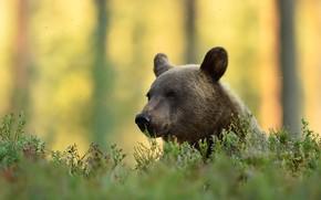 Картинка осень, лес, трава, взгляд, морда, деревья, желтый, природа, фон, стволы, поляна, портрет, медведь, мишка, лужайка, …