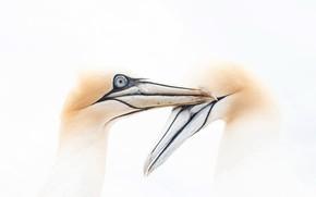 Картинка птицы, фон, Северные олуши