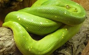 Картинка green, snake, animal, python, pythonlover