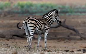Картинка природа, зебра, птичка
