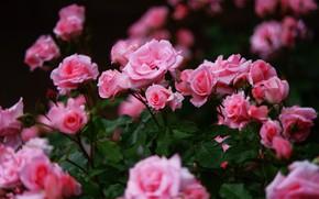 Картинка розовый, розы, много