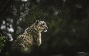 Картинка wallpaper, snow leopard, rain, leopard, animals, background, predator, blur, bokeh, cats, wildlife, big cat