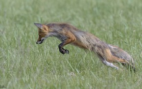 Картинка трава, прыжок, лиса, Duell ©