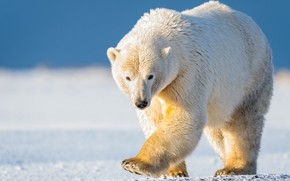 Картинка зима, белый, небо, взгляд, морда, свет, снег, природа, поза, синева, лапы, медведь, медведи, мишка, прогулка, …