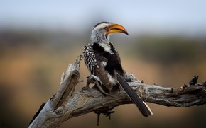 Картинка Kruger National Park, Southern Yellow-billed Hornbill, Wild South Africa