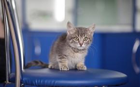 Картинка кошка, взгляд, синий, котенок, серый, малыш, мордочка, стул, милый, котёнок, дымчатый