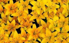 Обои желтый, лилии, лепестки