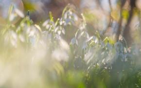 Картинка свет, цветы, природа, блики, поляна, весна, подснежники, нежные, много, боке, бутончики