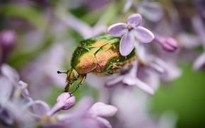 Картинка макро, цветы, зеленый, фон, жук, размытие, насекомое, красивый, сирень, блестящий, бронзовка