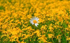 Картинка Ромашка, Цветочки, Flowers, Цветение, Camomile, Flowering