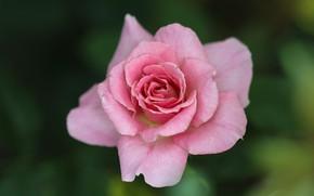 Картинка фон, розовая, роза